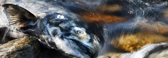 Salmon Return to Washington's Elwha River for the First Time in 102 Years
