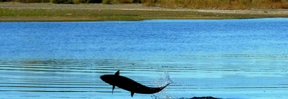 Eel River Recovery Project Tracks 2016-2017 Fall Chinook Run